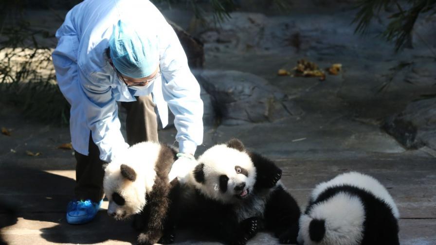 Пандите тризнаци празнуват рожден ден (видео)