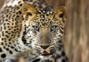 Леопард иска да вечеря с индийски генерал (видео)