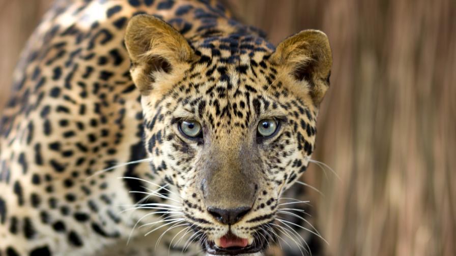 Русия и Франция си размениха леопарди (видео)