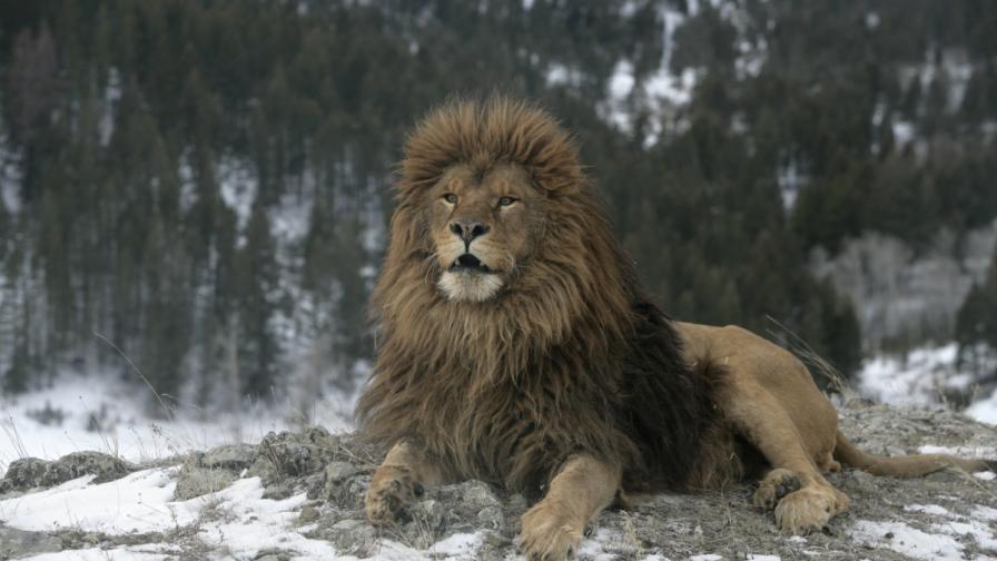 Берберски лъв