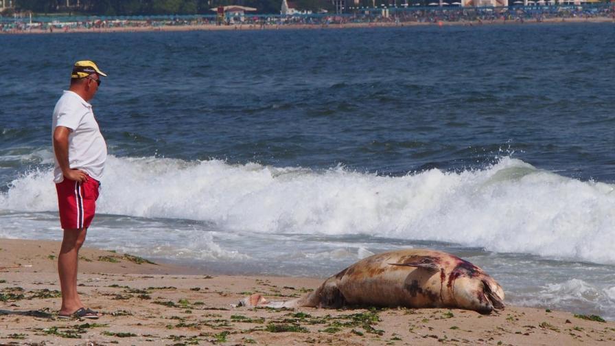 Труп на делфин открит до Созопол миналата година