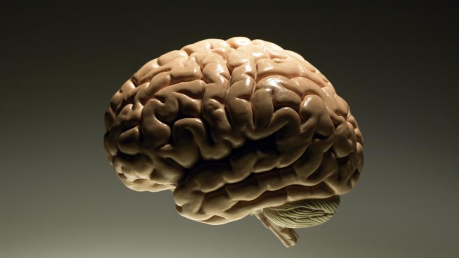 Как английските учени отглеждат човешки мозъци