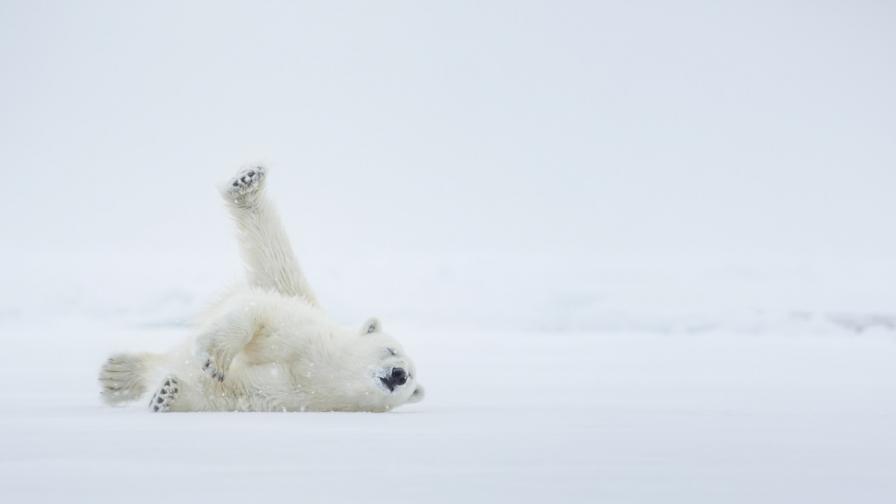 В Сибир раздават гумени куршуми за борба с белите мечки