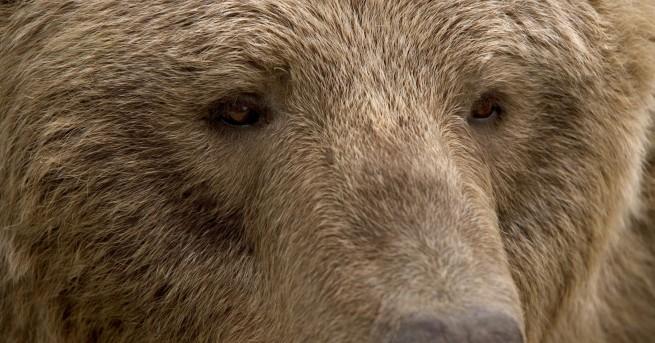 България Кой застреля защитена кафява мечка в Рила Според хора