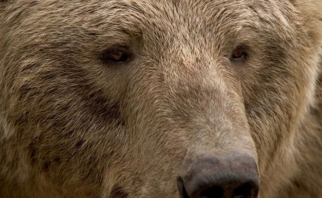 Кой застреля защитена кафява мечка в Рила