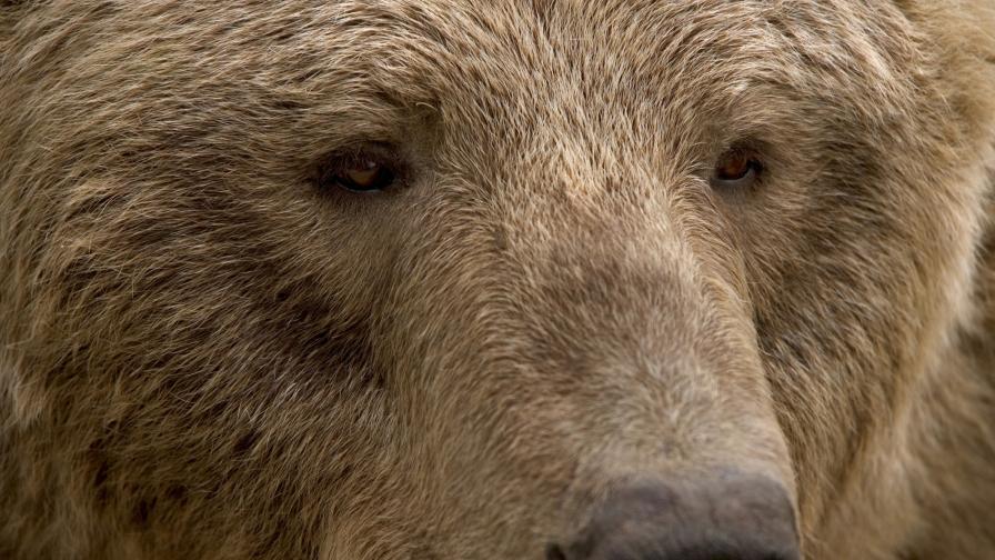 <p>Кой застреля защитена кафява мечка в Рила</p>
