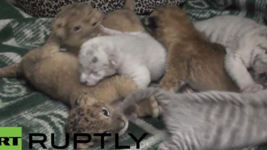 Три бенгалски тигърчета се родиха в Крим (видео)