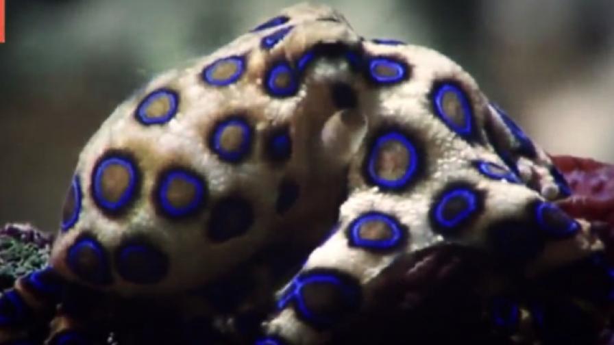 Синьопръстен октопод