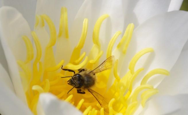И пчелите са пристрастени към кофеина
