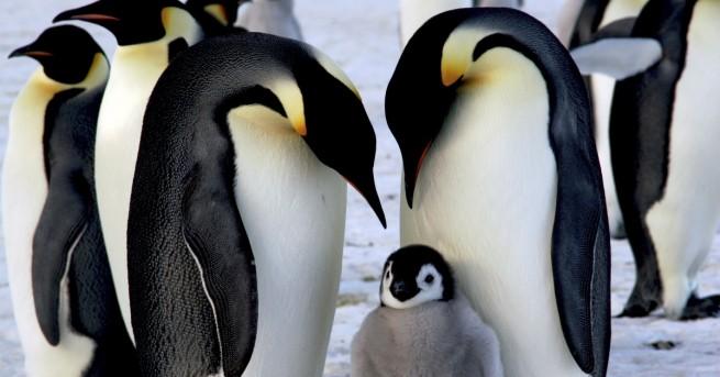 Свят Катастрофа: Хиляди пингвинчета измряха за нощ Данните от сателитните