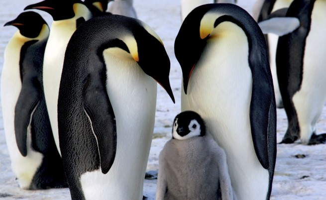 Катастрофа: Хиляди пингвинчета измряха за нощ