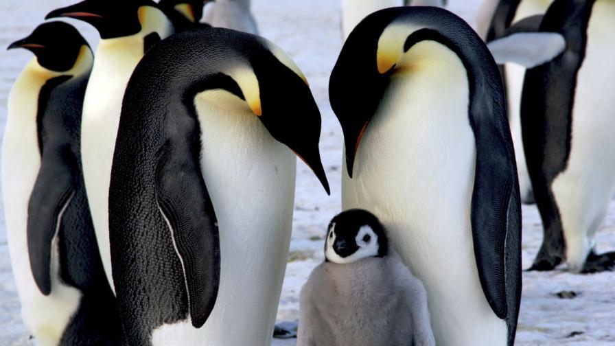 <p>Катастрофа: Хиляди пингвинчета измряха за нощ</p>