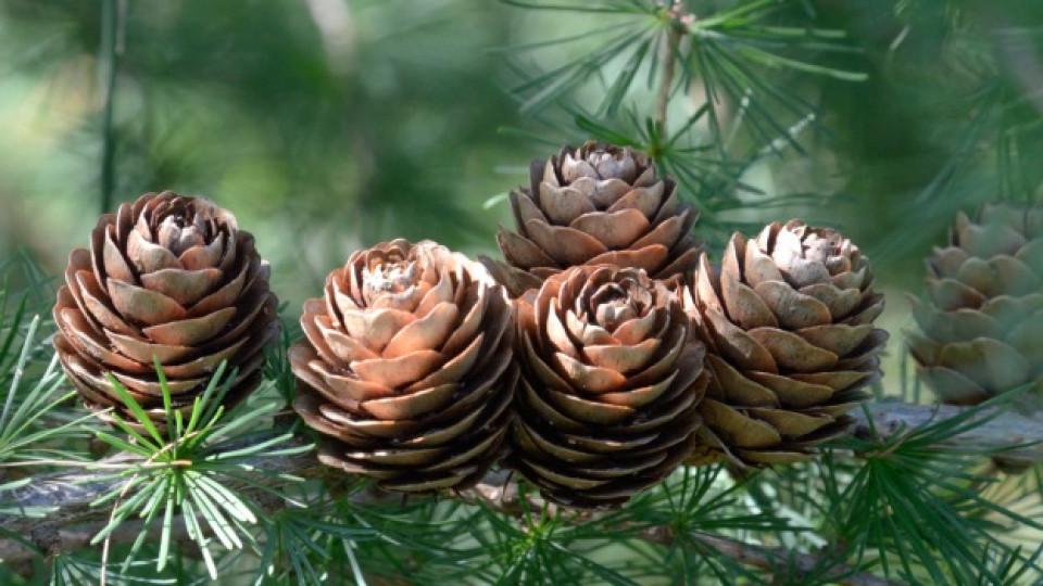 Pine, Бор