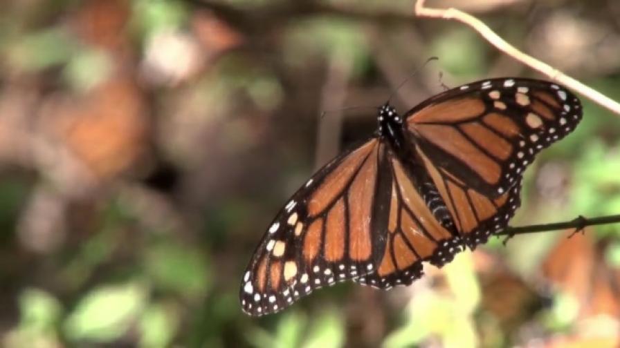 "100 млн. пеперуди ""Монарх"" преминаха през Мексико"