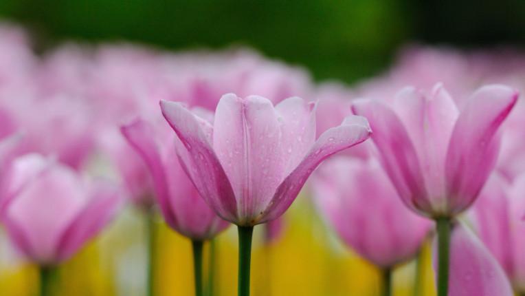 пролет лале лалета цветя
