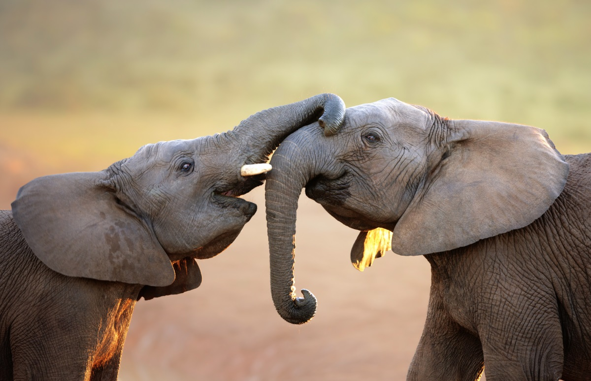 Слоновете, хората и гърбатите китове са единствените същества, които преживяват менопауза.