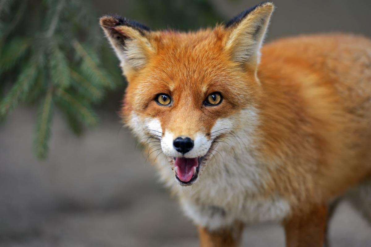 """Латинското име на червените лисици е Vulpes Vulpes.Червените лисици са вариантът на """"Уилямс Уилямс"""" в животинското царство. Сигурни сме, че не обичат да ги наричат с истинското им название."""