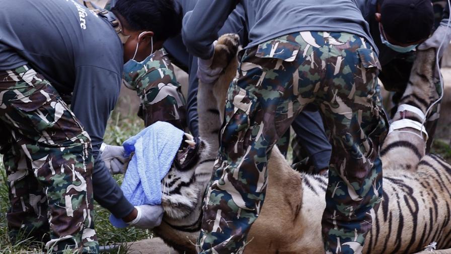 Преместването на тигрите от будисткия храм в Тайланд