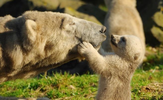 Майка мечка спаси трите си малки във водопад