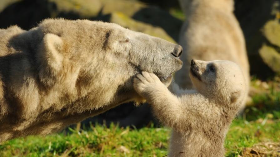 Майка мечка спаси трите си малки във водопад (видео)