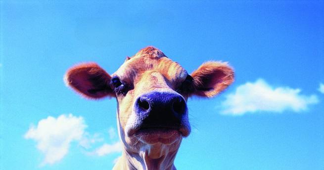 Любопитно Фермерка облече кравите си в коледни пуловери Така животновъдката