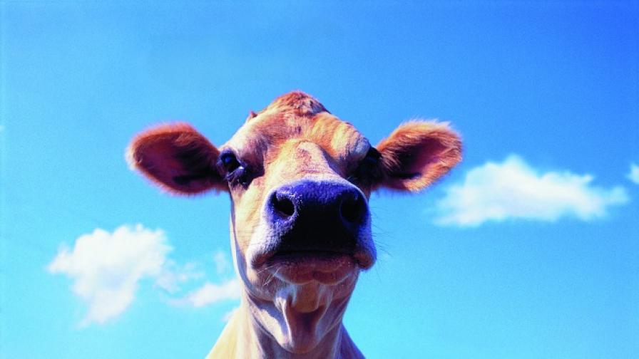 Фермерка облече кравите си в коледни пуловери
