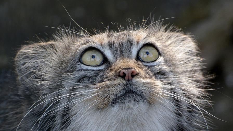 Дивите котки, редки и изключителни