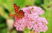Растението Дебела Мара: лек за тялото