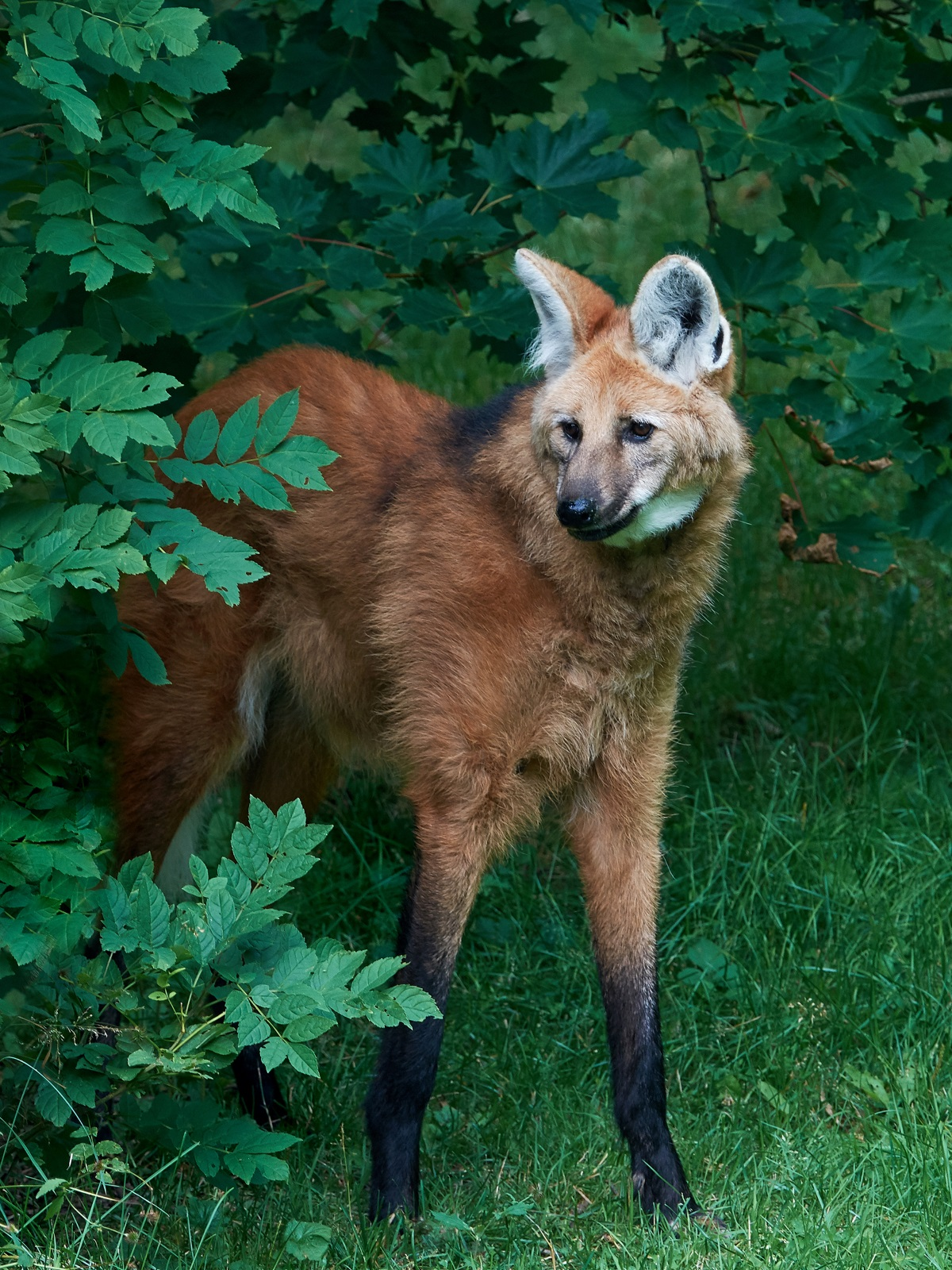 Гривест вълк Този бозайник с вретеновидни крака не е нито лисица, нито, както подсказва името му, вълк. Това животно е толкова специално, че си има свой вид - chrysocyon. Гривестите вълци живеят в централните райони на Южна Америка и имат големи уши и много дълги крака. За разлика от вълците и кучетата, те си избират един партньор за цял живот и не образуват глутници. Те са срамежливи, но ако се чувстват заплашени козината на врата им щръква нагоре и оттам идва името им.