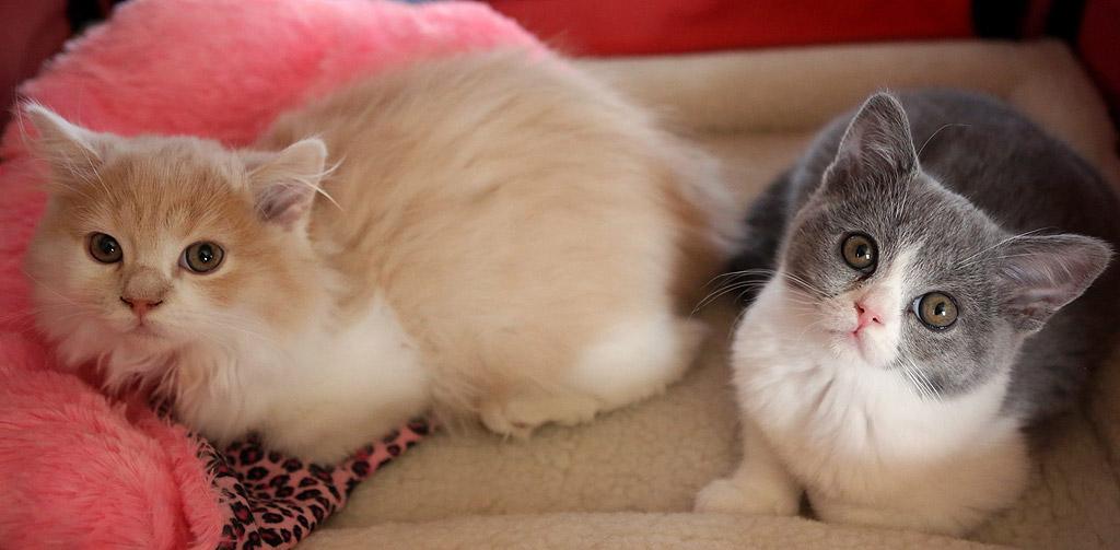 Шотландска късокосместа котка и Highland Straight