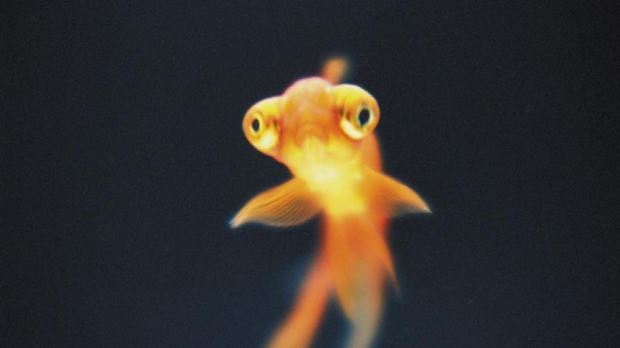 Как златните рибки буквално се превръщат в чудовища