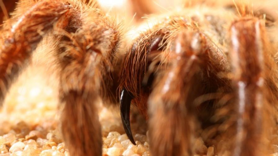 Огромна тарантула изяде змия (снимки)