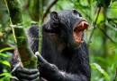 Шимпанзета убиха алфа мъжкар и се гавриха с трупа