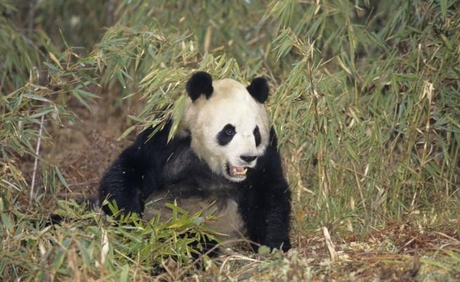 Панда заряза вегетарианството, уби и изяде коза
