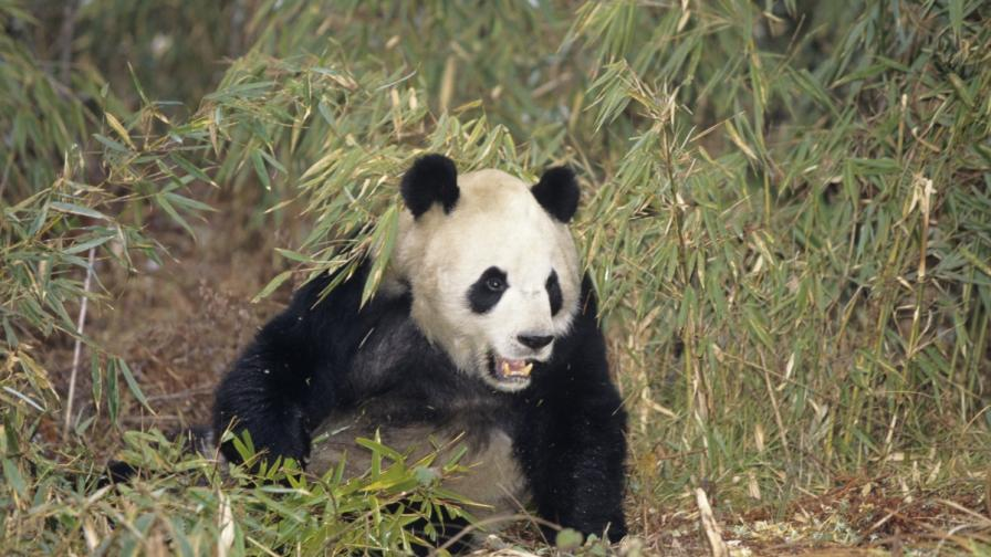 Панда заряза бамбука, уби и изяде коза