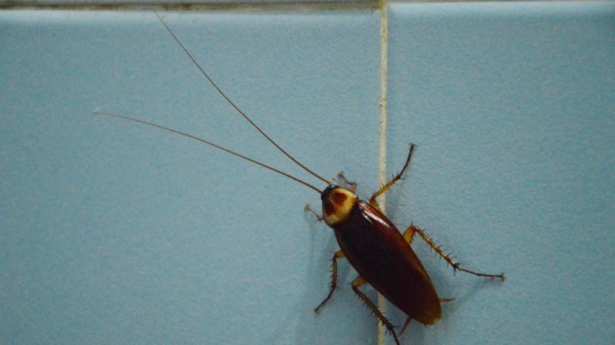Откриха хлебарка, приличаща на извънземно (снимка)