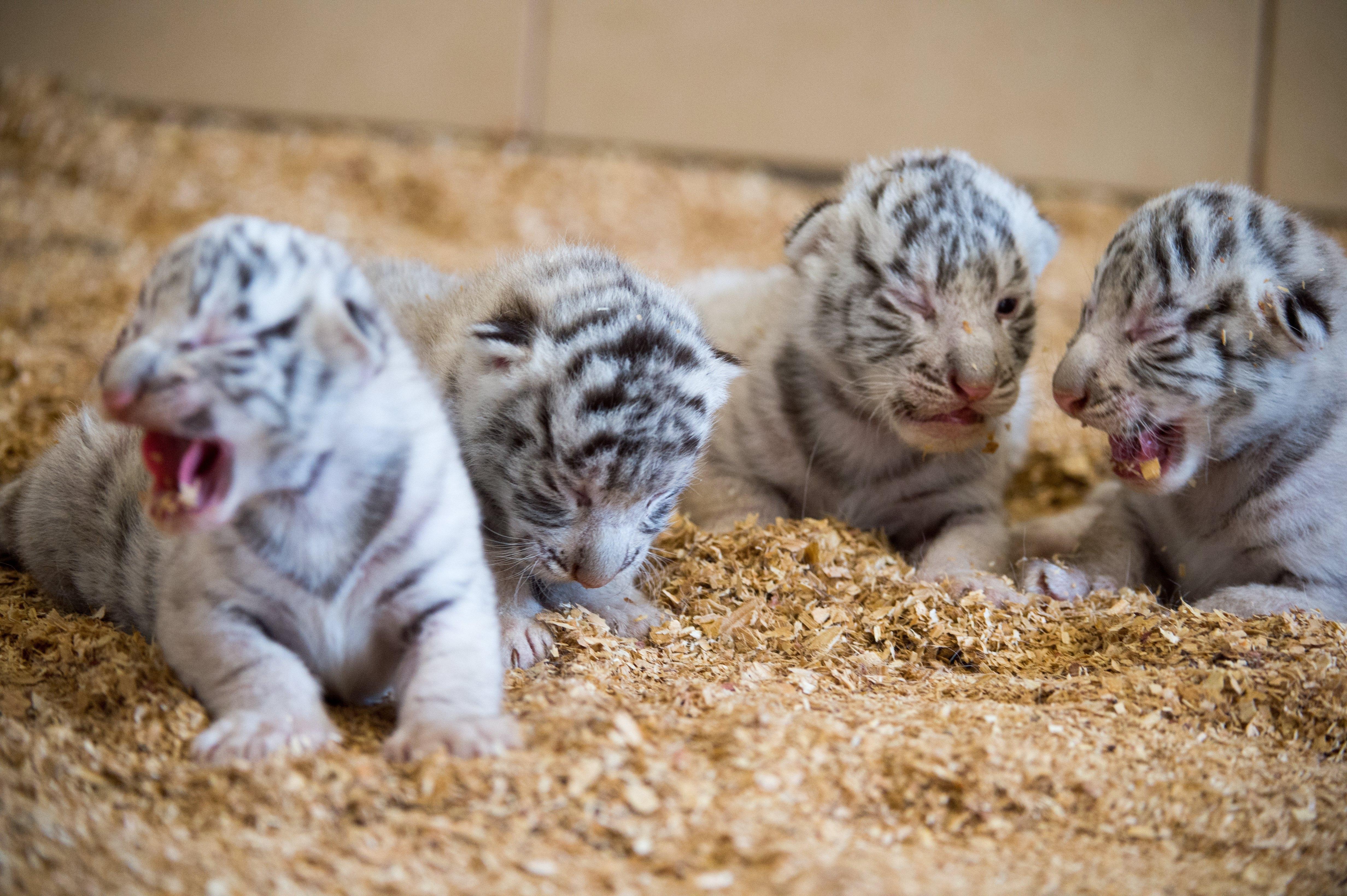 Австрийска зоологическа градина представи новородените си четири бели тигърчета - Фалко, Тото, Миа и Мауци, съобщи Ройтерс. Бялата зоологическа градина е на 150 км от Виена. Тя е популярна туристическа дестинация. Тигърчетата са се родили на 22 март. Те ще останат с майка си една година, а след това ще бъдат дарени на други зоологически градини.