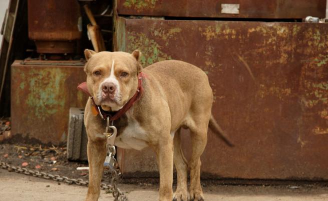 BBC: Българин ръководи мрежа за кучешки боеве