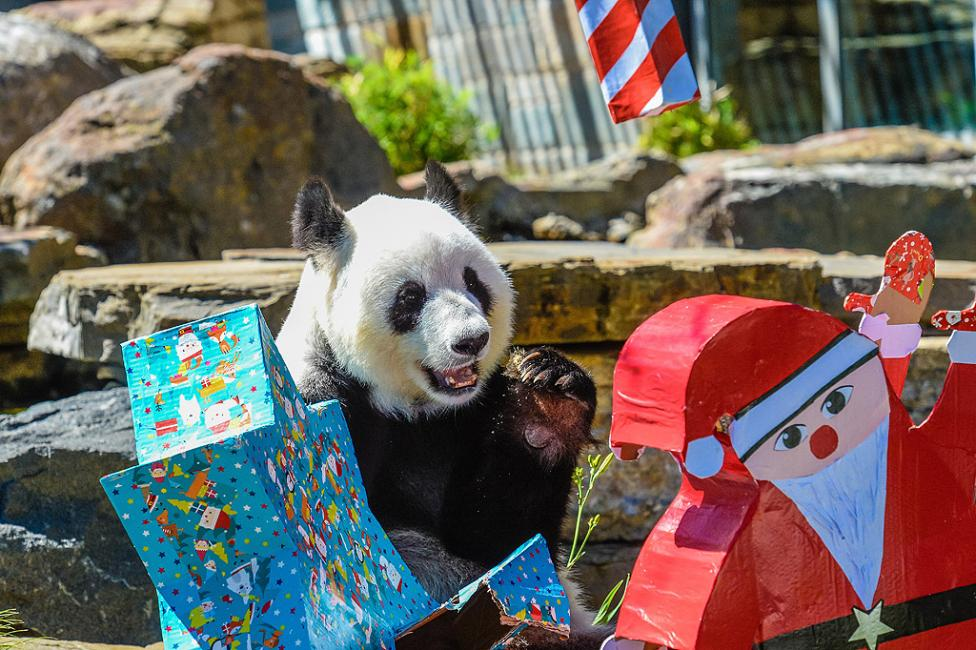- Животните обитатели на Зоопарка в Аделаида, Австралия, получиха традиционните си коледни подаръци