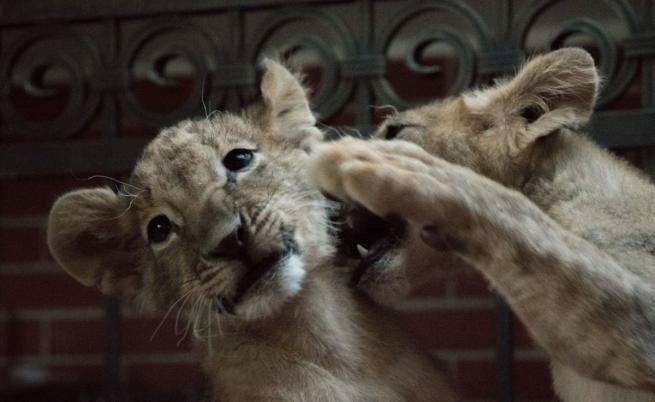Щастливата развръзка: Лъвчетата Терез и Масуд заминават утре