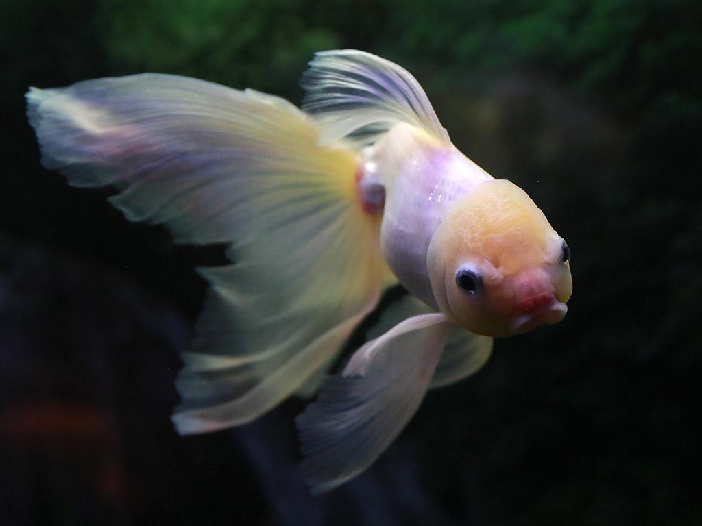 Златна рибка