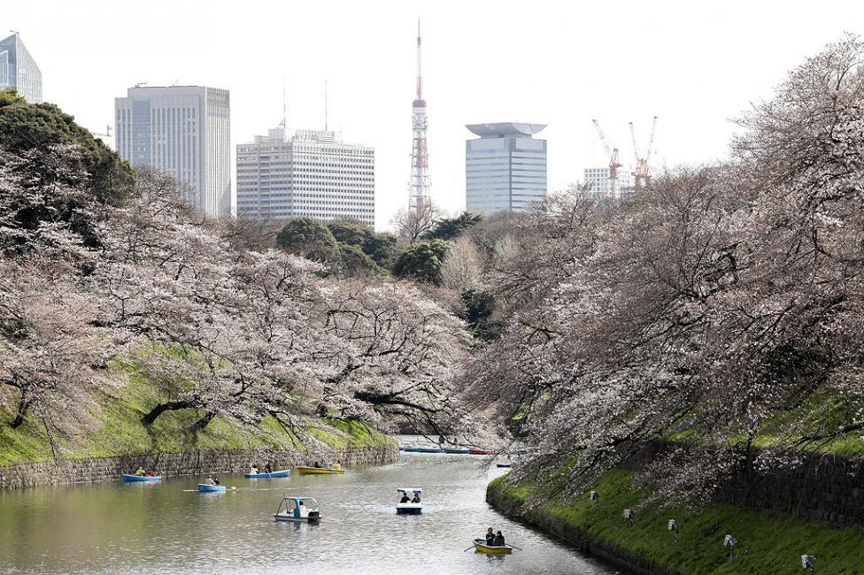 - Разходка с лодка сред цъфналите черешови дръвчета в парк в японската столица Токио.