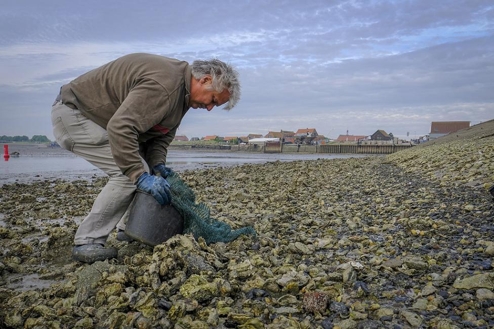 - Ферма за стриди в Зеландия, Холандия. Фермерският добив на стриди е сред най-устойчивите методи за производство на храна в света: той има толкова...