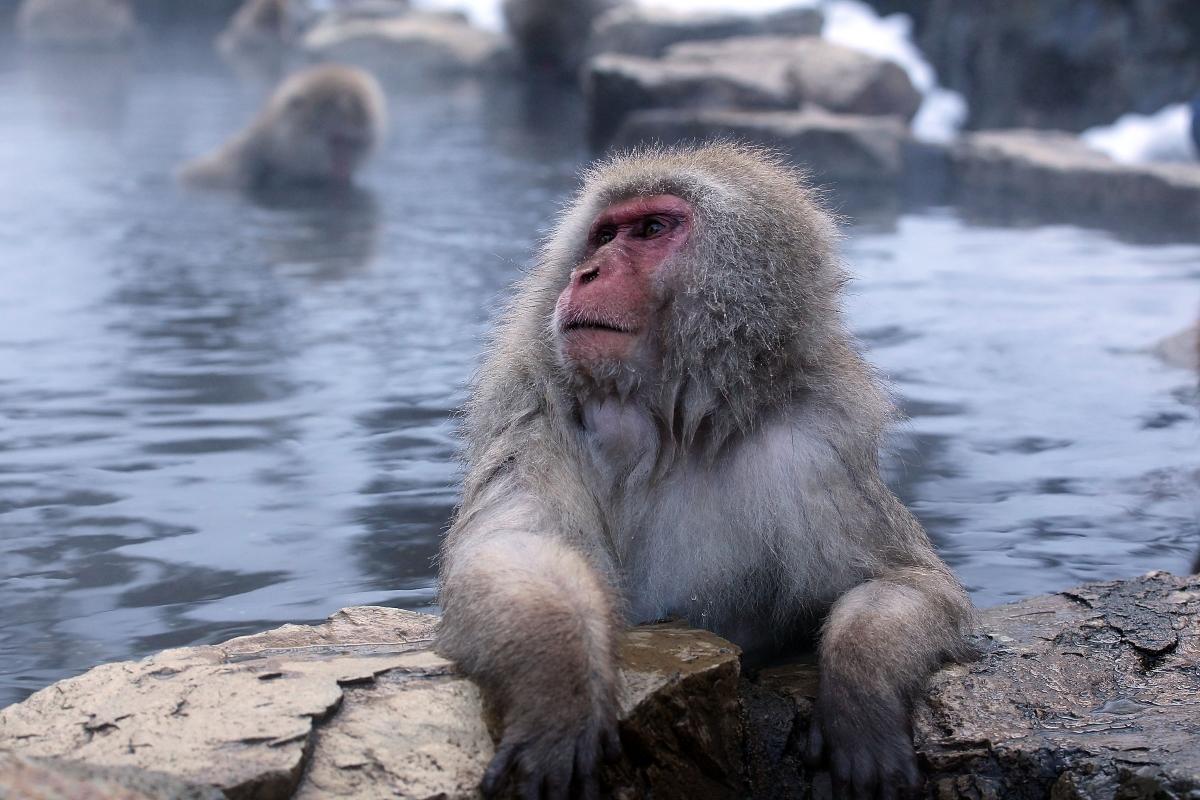 Женските японски макаци могат да получават множествен оргазъм и да правят секс повече от час.