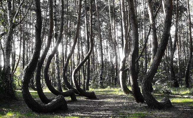 Каква е тайната на Кривата гора