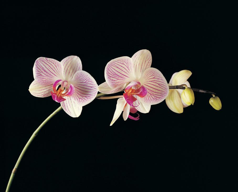 - Водолей Ловки и изключително непредсказуеми за представителите на зодия Водолей е прекрасната орхидея. Водолеите са иновативни и мразят да се...
