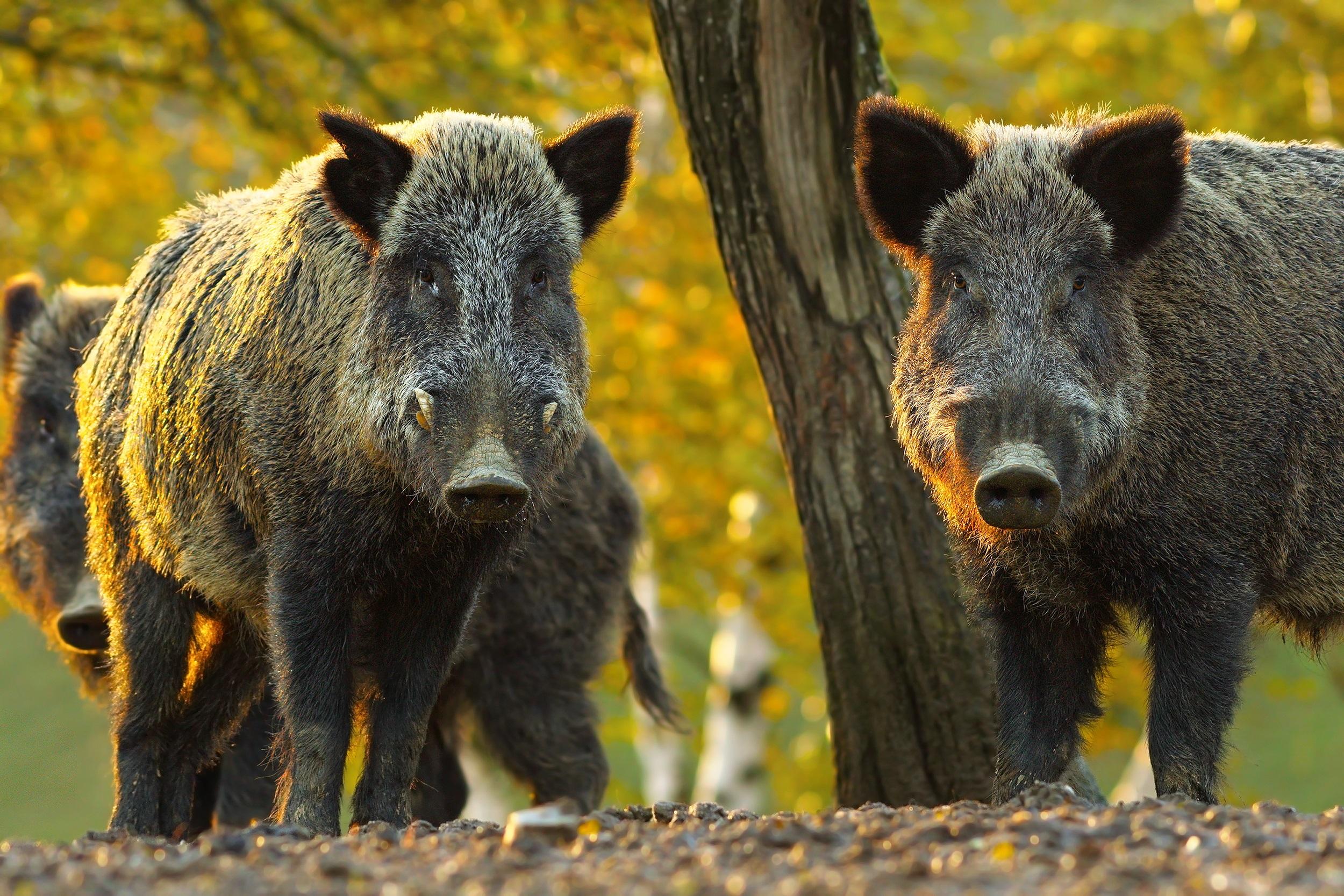 Дива свиня, Берлин<br /> <br /> Със своите яки тела, остри бивни и очарователни малки прасенца, дивите свине са лесно забележими. Ако стоите на централния търговски площад в Берлин Александерплац, ще бъде трудно да не ги забележите. Те процъфтяват в германската столица и са забелязвани да се разхождат из най-натоварените места в огромния град. Популацията им в момента наброява 3000 екземпляра, като има още две изолирани популации в градските гори.