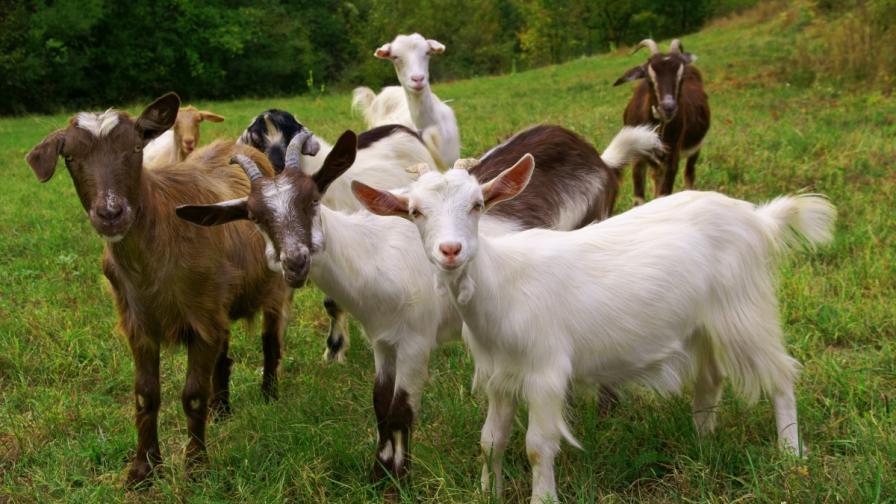 Стадо кози