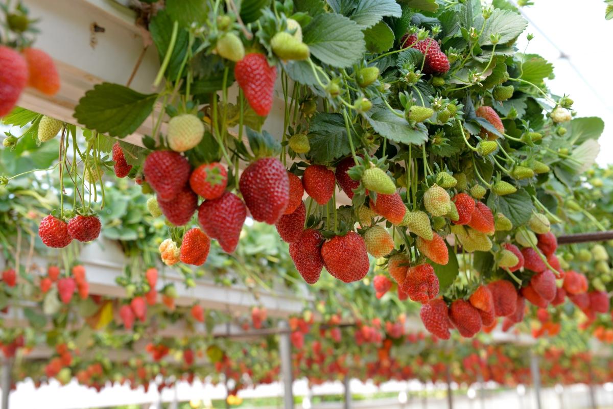 Лятото не яжте оранжерийни плодове и зеленчуци, тъй като те са обработени с пестициди. По възможност опитвайте да купувате такива от малки био производители.