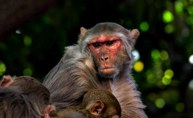 """Защо """"маймуни"""" пазеха сградата на парламента в Ню Делхи"""